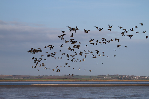 South Swale NR Brent Geese